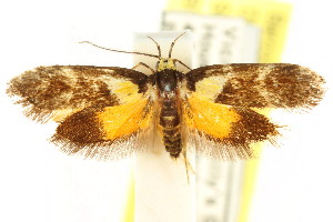 (Epithymema helias - CCDB-15790-B03)  @13 [ ] CreativeCommons - Attribution Non-Commercial Share-Alike (2011) CSIRO/BIO Photography Group Centre for Biodiversity Genomics