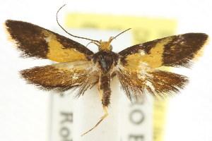 (Epithymema chrysopis - CCDB-15790-C09)  @12 [ ] CreativeCommons - Attribution Non-Commercial Share-Alike (2011) CSIRO/BIO Photography Group Centre for Biodiversity Genomics