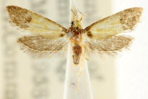 (Epithymema chrysocolla - CCDB-15790-D01)  @14 [ ] CreativeCommons - Attribution Non-Commercial Share-Alike (2011) CSIRO/BIO Photography Group Centre for Biodiversity Genomics
