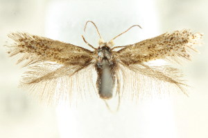 (Pectinivalva sp. ANIC7 - CCDB-15791-B04)  @11 [ ] CreativeCommons - Attribution Non-Commercial Share-Alike (2011) CSIRO/BIO Photography Group Centre for Biodiversity Genomics