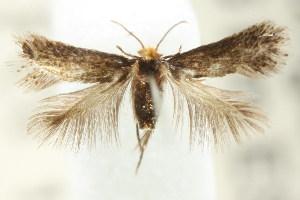(Pectinivalva sp. ANIC16 - CCDB-15791-C11)  @11 [ ] CreativeCommons - Attribution Non-Commercial Share-Alike (2011) CSIRO/BIO Photography Group Centre for Biodiversity Genomics
