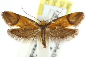 (Isomoralla pyrrhoptera - CCDB-15792-F06)  @14 [ ] CreativeCommons - Attribution Non-Commercial Share-Alike (2011) CSIRO/BIO Photography Group Centre for Biodiversity Genomics