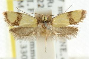 (Isomoralla eucista - CCDB-15792-F07)  @12 [ ] CreativeCommons - Attribution Non-Commercial Share-Alike (2011) CSIRO/BIO Photography Group Centre for Biodiversity Genomics