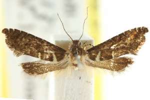 (Glyphipterix chalcodaedala - CCDB-15799-H03)  @11 [ ] CreativeCommons - Attribution Non-Commercial Share-Alike (2011) CSIRO/BIO Photography Group Centre for Biodiversity Genomics