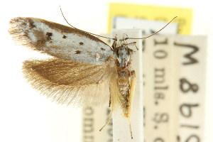 (Gymnocoila cataplasta - CCDB-15807-G09)  @11 [ ] CreativeCommons - Attribution Non-Commercial Share-Alike (2011) CSIRO/BIO Photography Group Centre for Biodiversity Genomics
