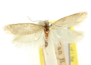(Gymnocoila glaphyrota - CCDB-15807-H02)  @11 [ ] CreativeCommons - Attribution Non-Commercial Share-Alike (2011) CSIRO/BIO Photography Group Centre for Biodiversity Genomics