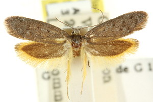 (Gymnocoila xanthocrossa - CCDB-15807-H05)  @13 [ ] CreativeCommons - Attribution Non-Commercial Share-Alike (2011) CSIRO/BIO Photography Group Centre for Biodiversity Genomics