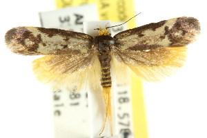(Gymnocoila callimeris - CCDB-15807-H09)  @13 [ ] CreativeCommons - Attribution Non-Commercial Share-Alike (2011) CSIRO/BIO Photography Group Centre for Biodiversity Genomics