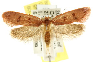 (Pachybela tetraspora - CCDB-15817-C02)  @15 [ ] CreativeCommons - Attribution Non-Commercial Share-Alike (2011) CSIRO/BIO Photography Group Centre for Biodiversity Genomics