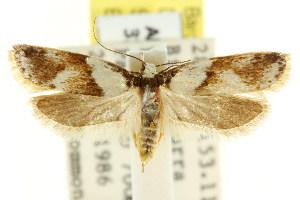 (Eulechria psaritis - CCDB-15821-D01)  @14 [ ] CreativeCommons - Attribution Non-Commercial Share-Alike (2011) CSIRO/BIO Photography Group Centre for Biodiversity Genomics