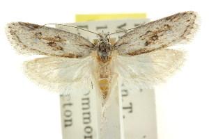 (Eulechria capsellata - CCDB-15821-E02)  @11 [ ] CreativeCommons - Attribution Non-Commercial Share-Alike (2011) CSIRO/BIO Photography Group Centre for Biodiversity Genomics