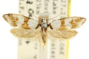(Eulechria epicausta - CCDB-15821-E11)  @11 [ ] CreativeCommons - Attribution Non-Commercial Share-Alike (2011) CSIRO/BIO Photography Group Centre for Biodiversity Genomics