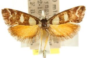 (Eulechria auantis - CCDB-15821-F03)  @11 [ ] CreativeCommons - Attribution Non-Commercial Share-Alike (2011) CSIRO/BIO Photography Group Centre for Biodiversity Genomics