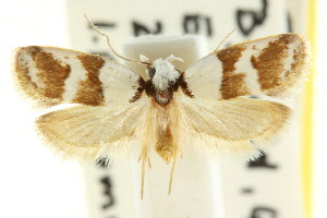 (Eulechria triferella - CCDB-15821-F08)  @15 [ ] CreativeCommons - Attribution Non-Commercial Share-Alike (2011) CSIRO/BIO Photography Group Centre for Biodiversity Genomics