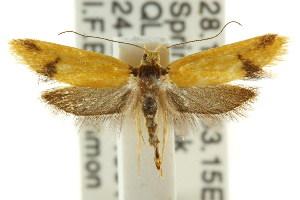 (Eulechria pyrgophora - CCDB-15821-H01)  @13 [ ] CreativeCommons - Attribution Non-Commercial Share-Alike (2011) CSIRO/BIO Photography Group Centre for Biodiversity Genomics