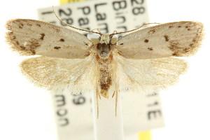 (Eulechria delospila - CCDB-15821-H04)  @14 [ ] CreativeCommons - Attribution Non-Commercial Share-Alike (2011) CSIRO/BIO Photography Group Centre for Biodiversity Genomics