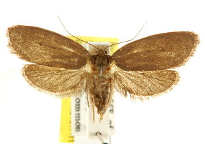 (Eulechria holodascia - CCDB-15822-B05)  @14 [ ] CreativeCommons - Attribution Non-Commercial Share-Alike (2011) CSIRO/BIO Photography Group Centre for Biodiversity Genomics