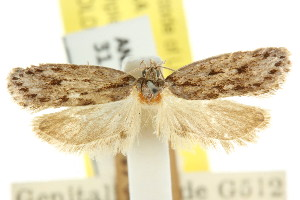 (Eulechria stadiota - CCDB-15822-B07)  @11 [ ] CreativeCommons - Attribution Non-Commercial Share-Alike (2011) CSIRO/BIO Photography Group Centre for Biodiversity Genomics