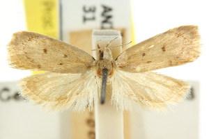 (Eulechria pulverea - CCDB-15822-C12)  @11 [ ] CreativeCommons - Attribution Non-Commercial Share-Alike (2011) CSIRO/BIO Photography Group Centre for Biodiversity Genomics