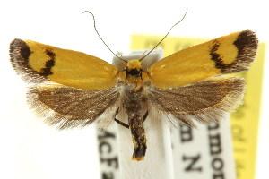 (Eulechria heliodora - CCDB-15822-E05)  @13 [ ] CreativeCommons - Attribution Non-Commercial Share-Alike (2011) CSIRO/BIO Photography Group Centre for Biodiversity Genomics
