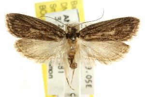 (Eulechria melanoploca - CCDB-15822-E10)  @13 [ ] CreativeCommons - Attribution Non-Commercial Share-Alike (2011) CSIRO/BIO Photography Group Centre for Biodiversity Genomics