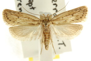 (Eulechria melesella - CCDB-15822-E12)  @14 [ ] CreativeCommons - Attribution Non-Commercial Share-Alike (2011) CSIRO/BIO Photography Group Centre for Biodiversity Genomics
