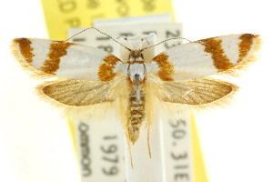(Eulechria phaeina - CCDB-15822-F04)  @14 [ ] CreativeCommons - Attribution Non-Commercial Share-Alike (2011) CSIRO/BIO Photography Group Centre for Biodiversity Genomics