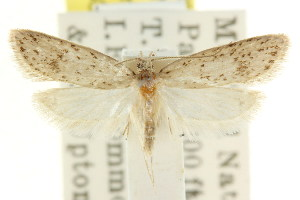 (Eulechria ceratina - CCDB-15822-G08)  @11 [ ] CreativeCommons - Attribution Non-Commercial Share-Alike (2011) CSIRO/BIO Photography Group Centre for Biodiversity Genomics
