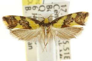 (Eulechria malacostola - CCDB-15822-G11)  @12 [ ] CreativeCommons - Attribution Non-Commercial Share-Alike (2011) CSIRO/BIO Photography Group Centre for Biodiversity Genomics