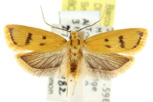 (Eulechria subpunctella - CCDB-15824-A04)  @15 [ ] CreativeCommons - Attribution Non-Commercial Share-Alike (2011) CSIRO/BIO Photography Group Centre for Biodiversity Genomics