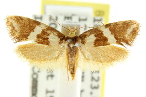 (Eulechria absona - CCDB-15824-B07)  @14 [ ] CreativeCommons - Attribution Non-Commercial Share-Alike (2011) CSIRO/BIO Photography Group Centre for Biodiversity Genomics