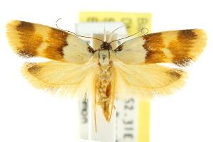 (Eulechria pentamera - CCDB-15824-E06)  @15 [ ] CreativeCommons - Attribution Non-Commercial Share-Alike (2011) CSIRO/BIO Photography Group Centre for Biodiversity Genomics