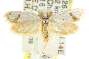 (Eulechria gypsochroa - CCDB-15824-E11)  @15 [ ] CreativeCommons - Attribution Non-Commercial Share-Alike (2011) CSIRO/BIO Photography Group Centre for Biodiversity Genomics
