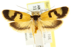 (Eulechria epimicta - CCDB-15824-F05)  @15 [ ] CreativeCommons - Attribution Non-Commercial Share-Alike (2011) CSIRO/BIO Photography Group Centre for Biodiversity Genomics