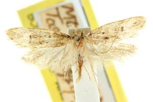 (Eulechria dolichotricha - CCDB-15824-F10)  @11 [ ] CreativeCommons - Attribution Non-Commercial Share-Alike (2011) CSIRO/BIO Photography Group Centre for Biodiversity Genomics