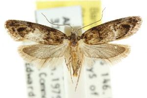 (Eulechria callidesma - CCDB-15824-G01)  @15 [ ] CreativeCommons - Attribution Non-Commercial Share-Alike (2011) CSIRO/BIO Photography Group Centre for Biodiversity Genomics