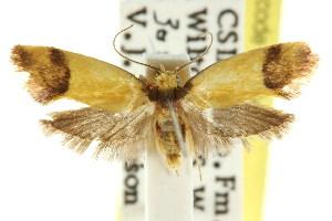 (Eulechria acrotropa - CCDB-15824-G08)  @11 [ ] CreativeCommons - Attribution Non-Commercial Share-Alike (2011) CSIRO/BIO Photography Group Centre for Biodiversity Genomics