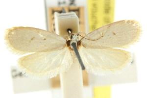 (Eulechria omosema - CCDB-15824-H08)  @11 [ ] CreativeCommons - Attribution Non-Commercial Share-Alike (2011) CSIRO/BIO Photography Group Centre for Biodiversity Genomics