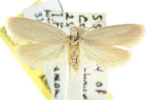 (Eulechria pallidella - CCDB-15825-C08)  @14 [ ] CreativeCommons - Attribution Non-Commercial Share-Alike (2011) CSIRO/BIO Photography Group Centre for Biodiversity Genomics