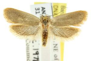 (Eulechria pantelella - CCDB-15825-C12)  @14 [ ] CreativeCommons - Attribution Non-Commercial Share-Alike (2011) CSIRO/BIO Photography Group Centre for Biodiversity Genomics
