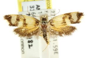 (Eulechria chrysozona - CCDB-15825-H02)  @14 [ ] CreativeCommons - Attribution Non-Commercial Share-Alike (2011) CSIRO/BIO Photography Group Centre for Biodiversity Genomics