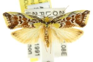 (Eulechria hilda - CCDB-15825-H06)  @13 [ ] CreativeCommons - Attribution Non-Commercial Share-Alike (2011) CSIRO/BIO Photography Group Centre for Biodiversity Genomics