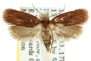 (Eulechria sp. ANIC49 - CCDB-15826-B10)  @13 [ ] CreativeCommons - Attribution Non-Commercial Share-Alike (2011) CSIRO/BIO Photography Group Centre for Biodiversity Genomics