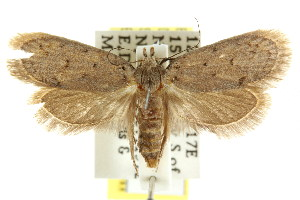 (Eulechria sp. ANIC50 - CCDB-15826-B11)  @13 [ ] CreativeCommons - Attribution Non-Commercial Share-Alike (2011) CSIRO/BIO Photography Group Centre for Biodiversity Genomics