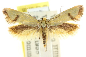 (Sclerocris crocinastis - CCDB-15827-B03)  @11 [ ] CreativeCommons - Attribution Non-Commercial Share-Alike (2011) CSIRO/BIO Photography Group Centre for Biodiversity Genomics