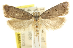 (Sclerocris sp - CCDB-15827-B09)  @11 [ ] CreativeCommons - Attribution Non-Commercial Share-Alike (2011) CSIRO/BIO Photography Group Centre for Biodiversity Genomics