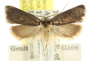 (Sclerocris nomistis - CCDB-15827-C01)  @11 [ ] CreativeCommons - Attribution Non-Commercial Share-Alike (2011) CSIRO/BIO Photography Group Centre for Biodiversity Genomics