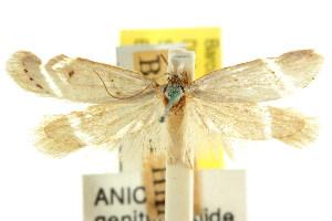 (Exarsia paracycla - CCDB-15828-D05)  @11 [ ] CreativeCommons - Attribution Non-Commercial Share-Alike (2011) CSIRO/BIO Photography Group Centre for Biodiversity Genomics