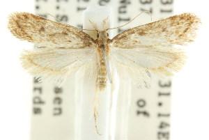 (Exarsia sp. ANIC2 - CCDB-15828-E01)  @13 [ ] CreativeCommons - Attribution Non-Commercial Share-Alike (2011) CSIRO/BIO Photography Group Centre for Biodiversity Genomics