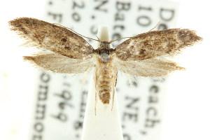 (Telanepsia notospila - CCDB-15828-F01)  @13 [ ] CreativeCommons - Attribution Non-Commercial Share-Alike (2011) CSIRO/BIO Photography Group Centre for Biodiversity Genomics